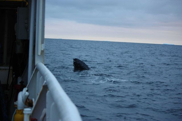 A humpback whale spyhops next to the R/V Moana Wave. Picture