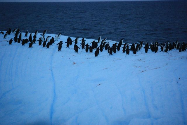 Chinstrap penguins atop an iceberg. Picture