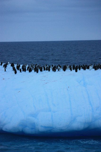 A colony of chinstrap penguins floats on an iceberg. Picture