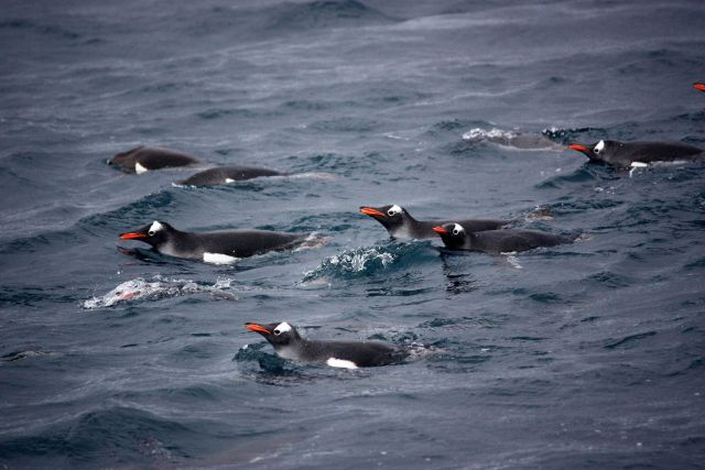 A group of swimming gentoo penguins. Picture