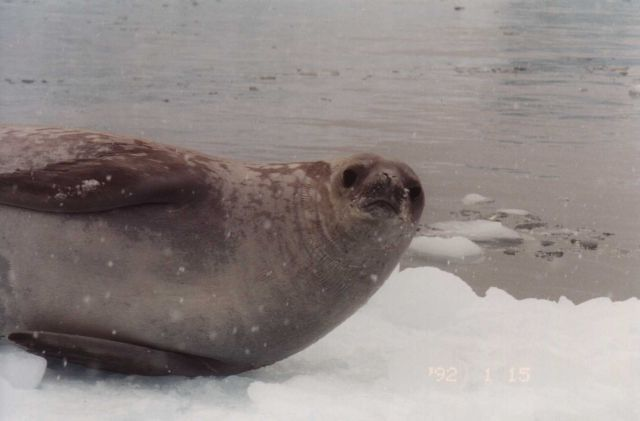 A crabeater seal on a snowy ice floe. Picture