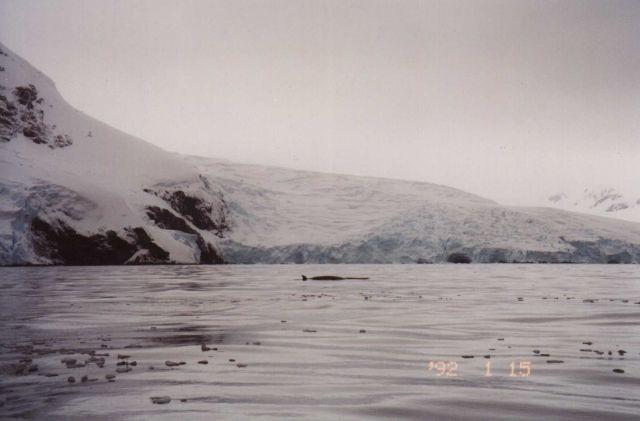 Minke whale, South Shetland Islands. Picture