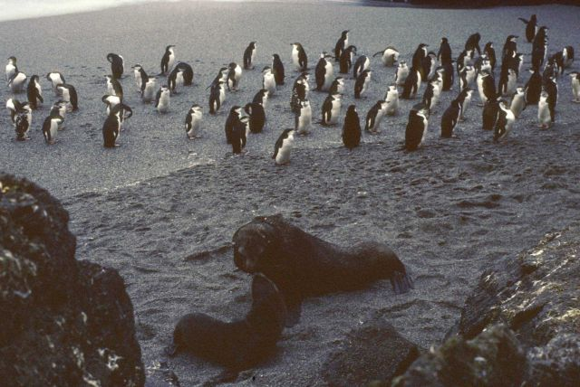 Chinstrap penguins share a beach with a pair of Antarctic fur seals. Picture