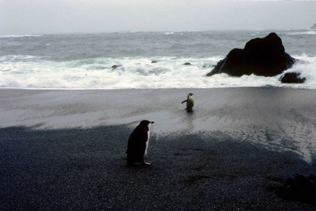 Chinstrap penguins on a rocky beach at Seal Island. Picture