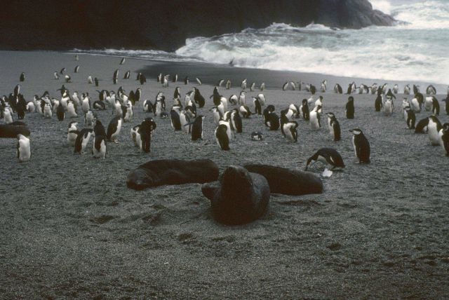 Antarctic fur seals and chinstrap penguins at Seal Island. Picture