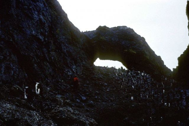 A biologist walks along the edge of a chinstrap penguin colony on Seal Island. Picture