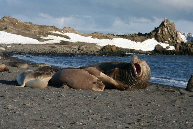 An elephant seal bull with his harem. Picture
