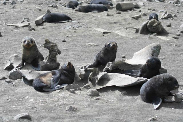 Antarctic fur seal pups bask among whale bones. Picture