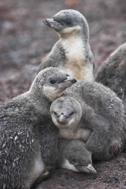 Chinstrap penguin chicks huddle for warmth. Picture
