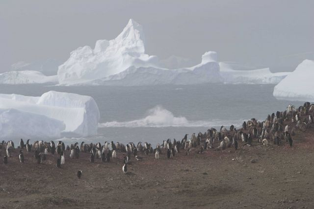 A chinstrap penguin colony with icebergs in the distance. Picture