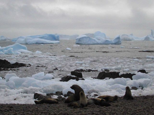 Antarctic fur seals on an icy beach. Picture