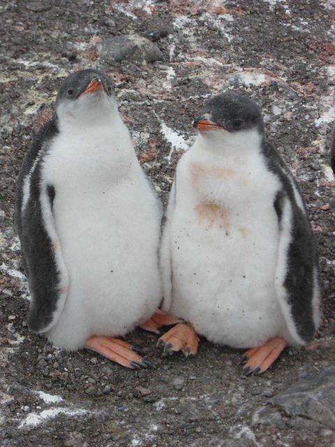 Gentoo penguin chicks, King George Island. Picture