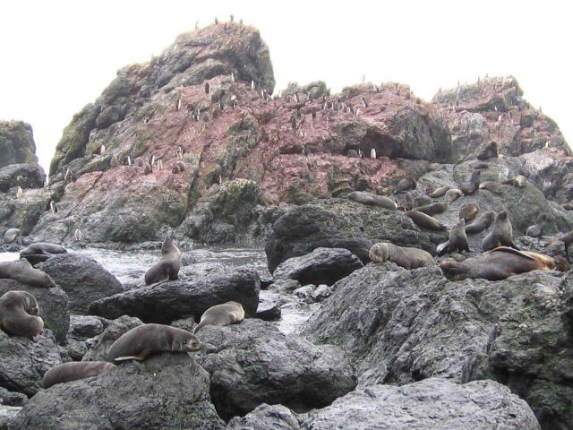 Antarctic fur seals and chinstrap penguins on Seal Island. Picture