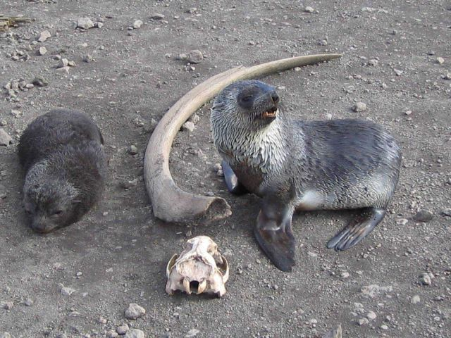 Antarctic fur seal pups with a whale rib and seal skull, Livingston Island. Picture