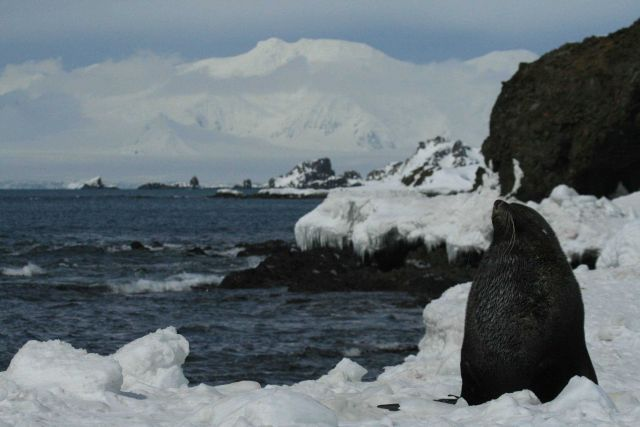 Antarctic fur seal with Antarctic landscape in the background. Picture
