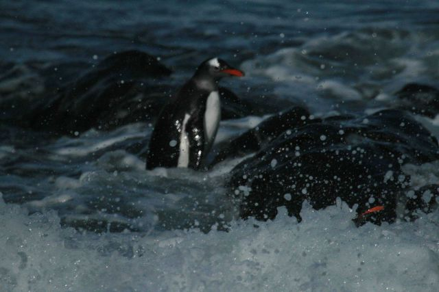 A gentoo penguin at Cape Shirreff, Livingston Island. Picture