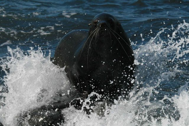 An Antarctic fur seal in the surf at Cape Shirreff, Livingston Island. Picture