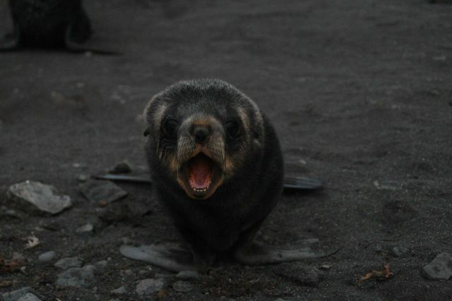 An Antarctic fur seal pup at Livingston Island. Picture