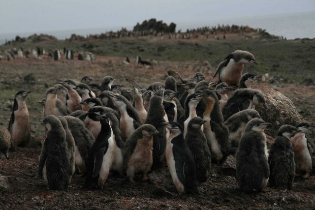 Huddled chinstrap penguins on the outskirts of a colony. Picture