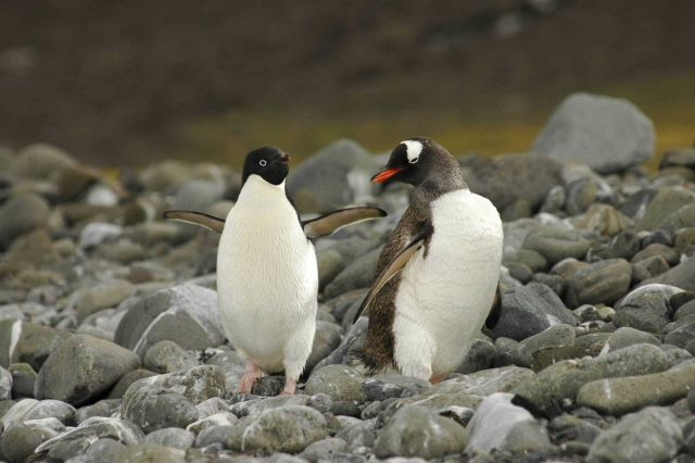 An Adelie and a gentoo penguin walk along a rocky beach. Picture