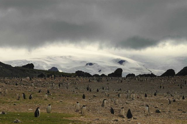 A colony of gentoo penguins on King George Island. Picture