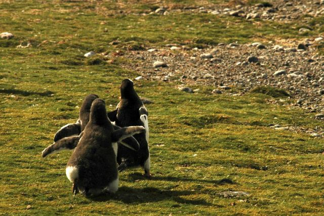 A Gentoo penguin being chased by chicks for food. Picture