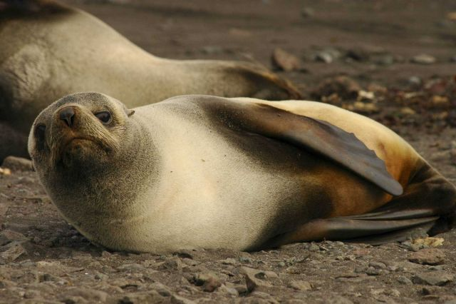 A female Antarctic fur seal sunning. Picture