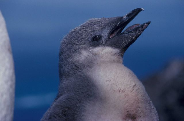Chinstrap penguin chick. Picture