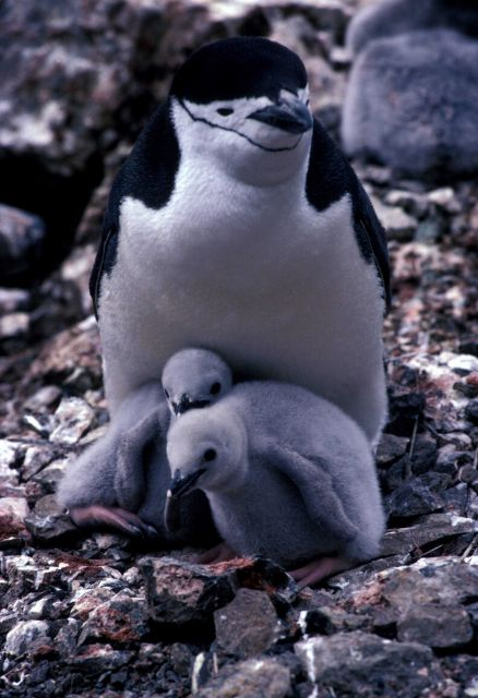 An adult chinstrap penguins with chicks, Seal Island, South Shetland Islands. Picture