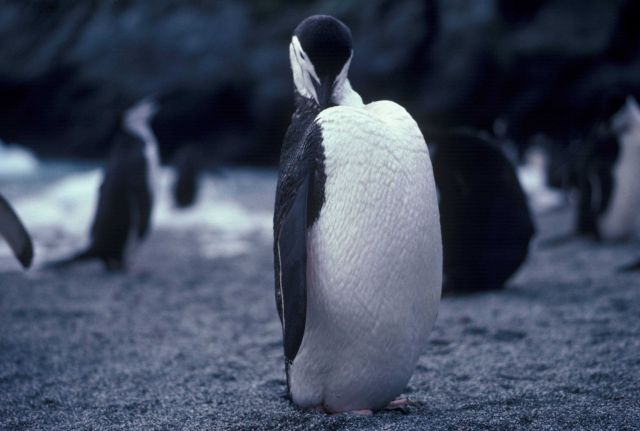 Preening chinstrap penguin. Picture
