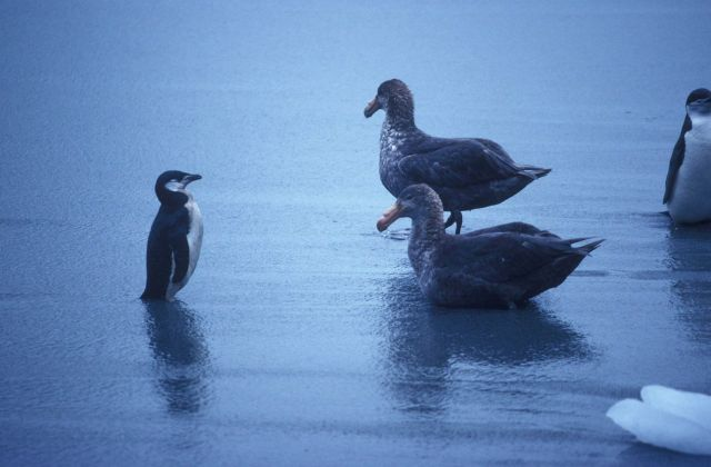 Chinstrap penguin and southern giant petrels. Picture