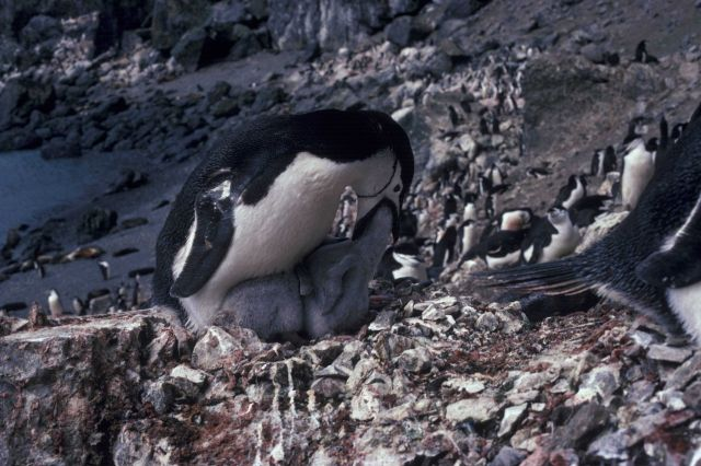 An adult chinstrap penguin feeding its chick. Picture
