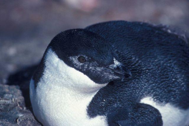 Melanistic chinstrap penguin. Picture