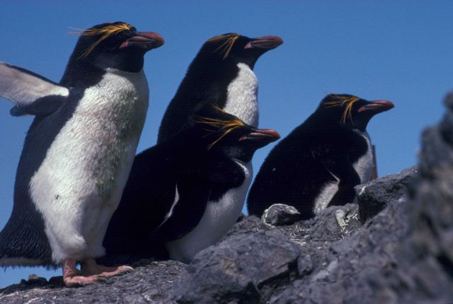 Macaroni penguins at Seal Island, Antarctica. Picture
