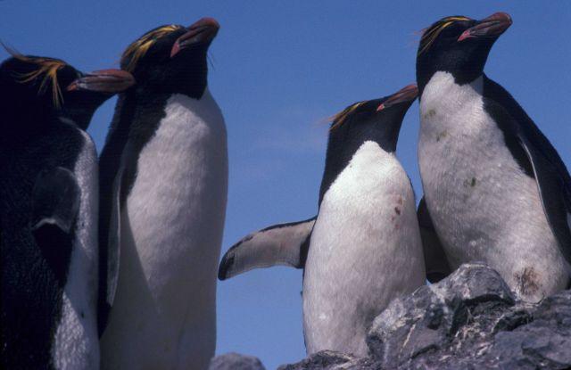 Macaroni penguins at Seal Island, Antarctica. Picture