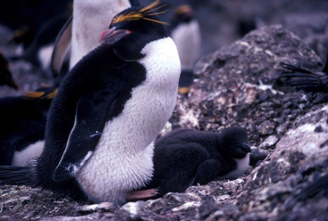 Macaroni penguin with chick at Seal Island, Antarctica. Picture