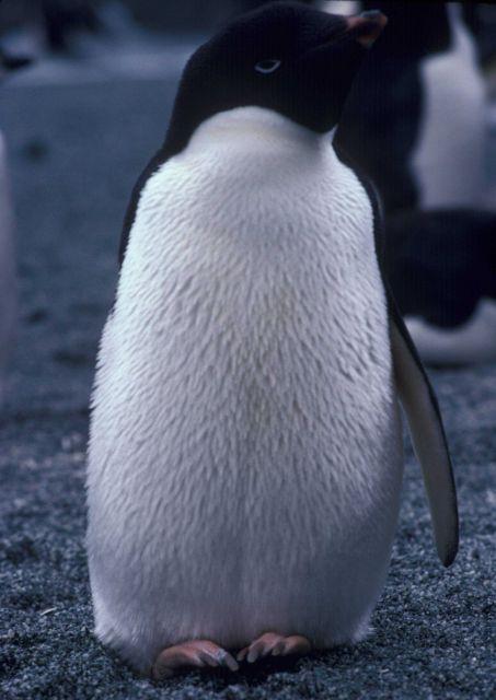 Adelie penguin, Seal Island, Antarctica. Picture