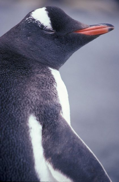 Gentoo penguin, Seal Island, Antarctica. Picture