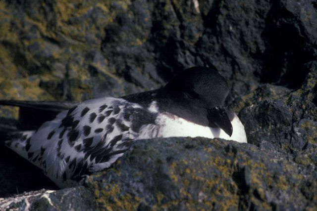 Cape petrel, Seal Island, Antarctica. Picture