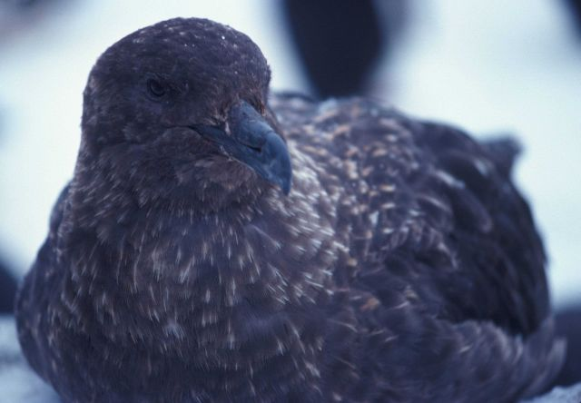 A south polar skua, Seal Island, Antarctica. Picture