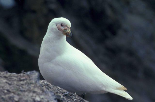 Sheathbill, Seal Island, Antarctica. Picture