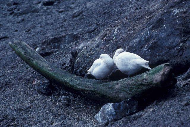 Sheathbills, Seal Island, Antarctica. Picture