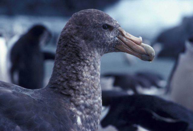 Southern giant petrel, Seal Island, Antarctica. Picture