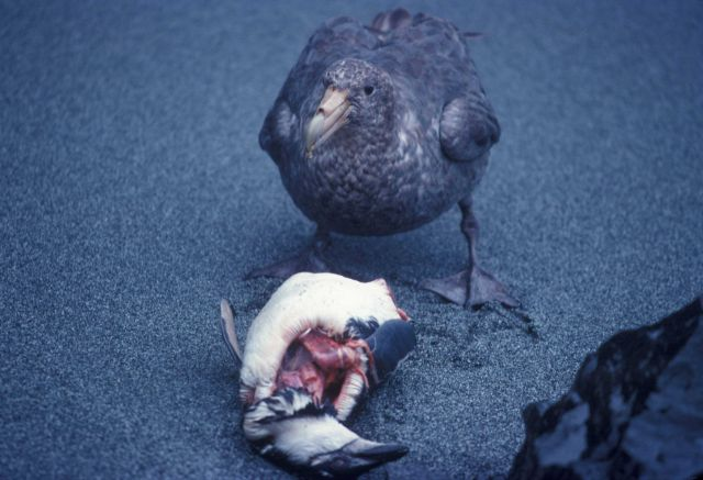 Southern giant petrel feeding on a penguin carcass. Picture