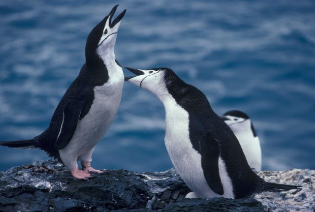 Chinstrap penguins calling, Seal Island, Antarctica. Picture