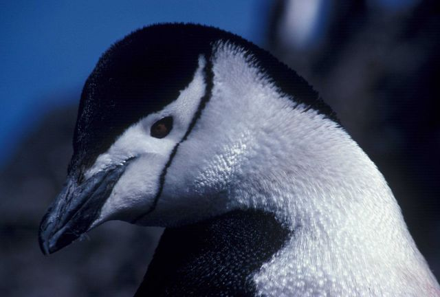Chinstrap penguin, Seal Island, Antarctica. Picture