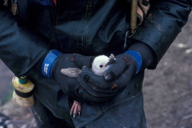 An AMLR biologist holds a penguin chick. Picture