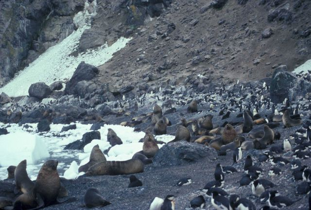 Antarctic fur seal and chinstrap penguins, Seal Island, Antarctica. Picture