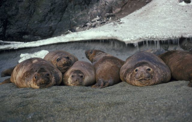 Southern elephant seals, Seal Island, Antarctica. Picture