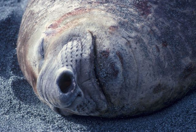 Southern elephant seal, South Shetland Islands, Antarctica. Picture